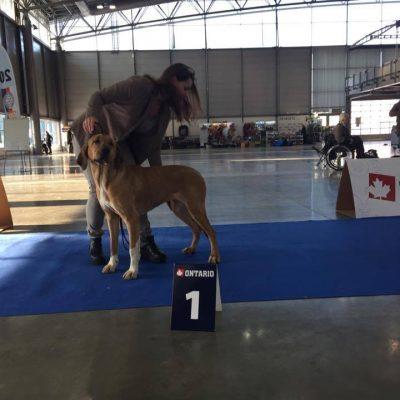 Gossa - her first dog show